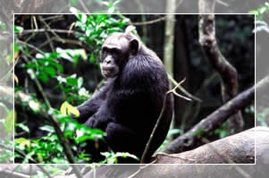 Chimpanzee tour