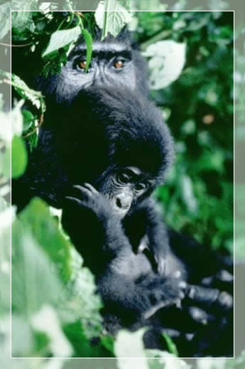 3 Day Gorilla safari Bwindi